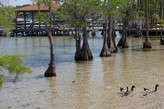 Clearwater and Ducks with Cypress Trees